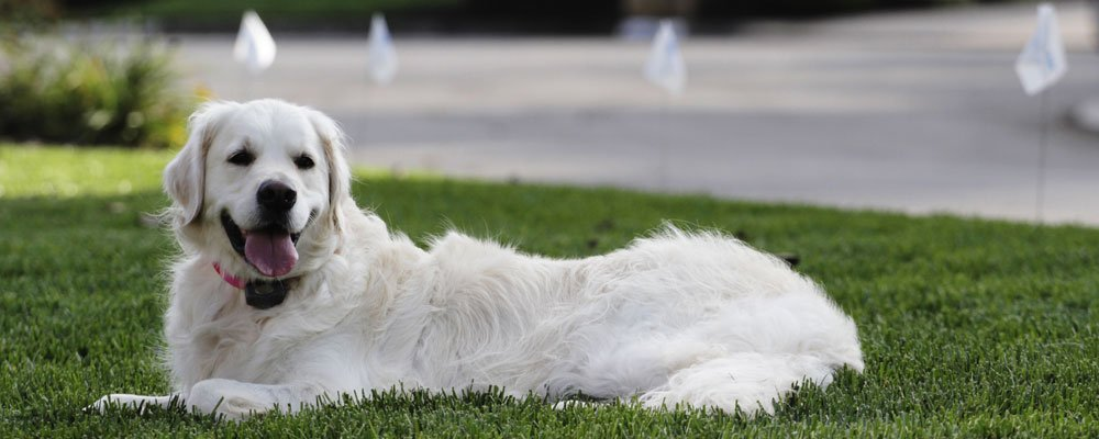 White Golden Retriever Laying Down with Electric Dog Fence